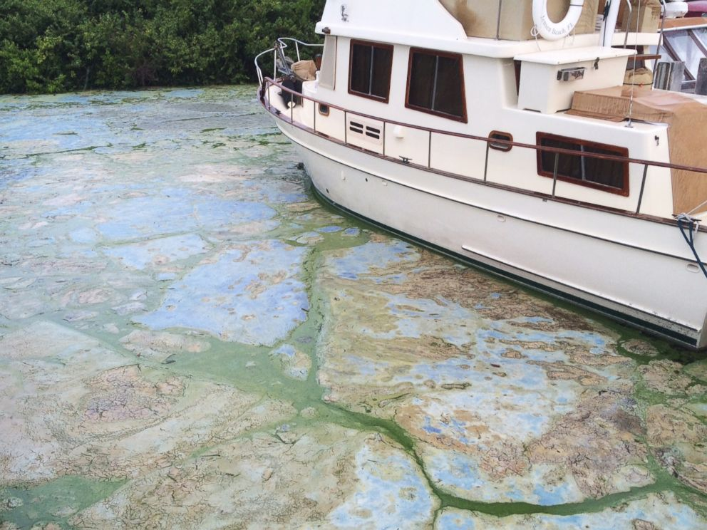 PHOTO: Algae covered water at Stuarts Central Marine boat docks is thick on June 30, 2016, in Stuart, Florida.