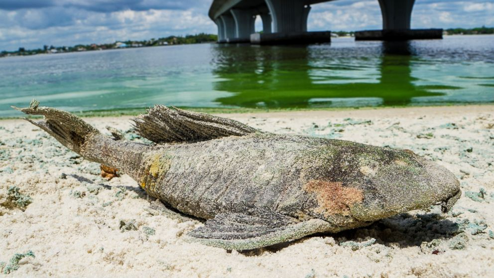 A dead walking catfish lays on the shore with algae along Sewell's Point, Fla. on the St. Lucie River under an Ocean Boulevard bridge on June 27, 2016. The Martin County Commission decided at an emergency meeting Tuesday to ask state and federal authorities to declare a disaster where blue-green algae has closed beaches.