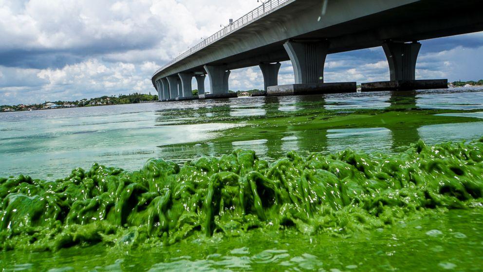 Water full of algae laps along the Sewell's Point shore on the St. Lucie River under an Ocean Boulevard bridge, June 27, 2016.