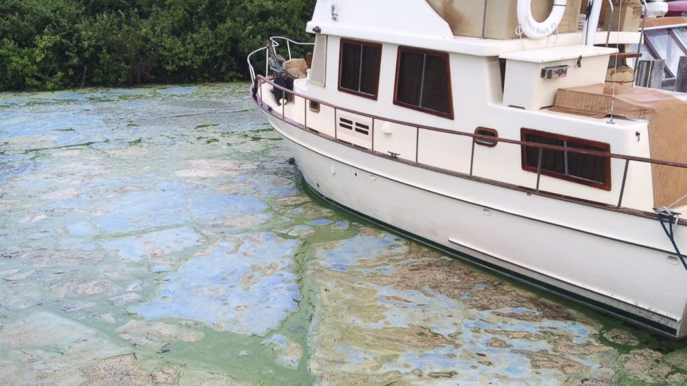 Algae covered water at Stuart's Central Marine boat docks is thick, June 30, 2016, in Stuart, Fla.