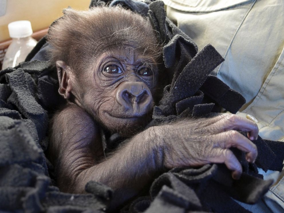 PHOTO: Kamina, a baby Western Lowland gorilla, arrives in Cincinnati by private plane, Sept. 22, 2014.