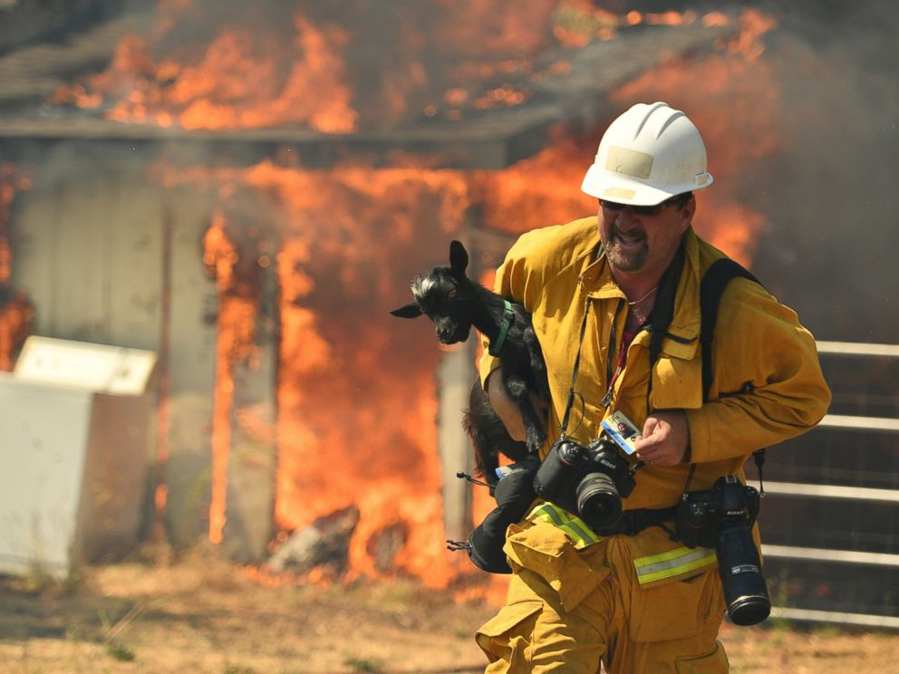 PHOTO: Freelance photographer Noah Berger rescues a goat while on assignment for the San Francisco Chronicle as flames envelope a property off of Bonham Road near Lower Lake, California, Aug. 14, 2016.