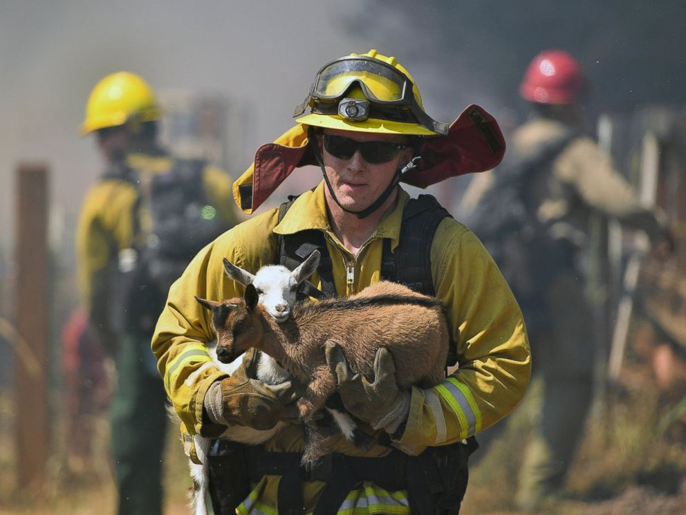 PHOTO: A firefighter rescues goats as flames from a wildfire envelope the area in Lower Lake, California, Aug. 14, 2016.
