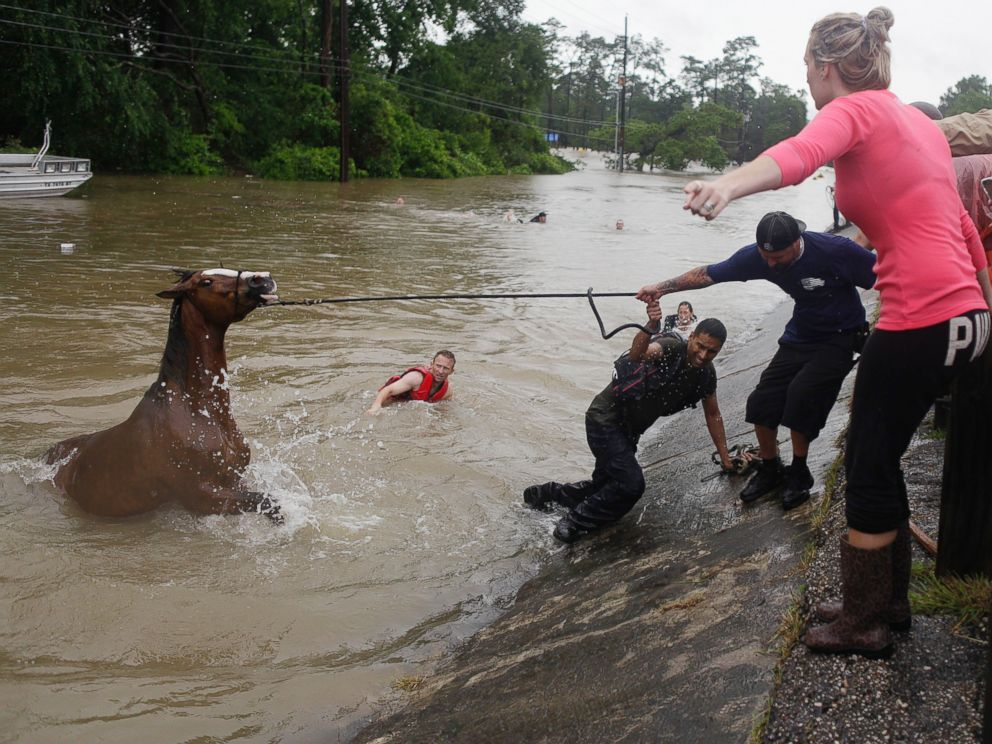 PHOTO: Locals work to rescue up to 70 horses along Cypresswood Drive near Humble along Cypress Creek, April 18, 2016, in Houston.