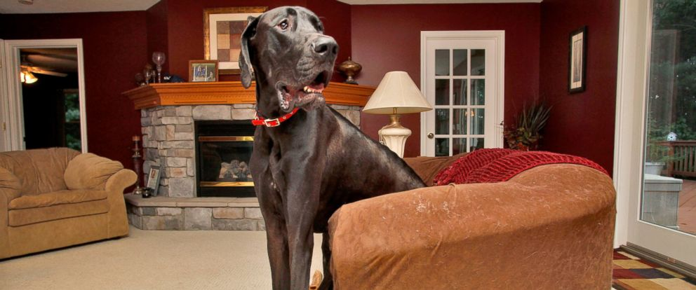 PHOTO: Two-year-old Great Dane Zeus sits in a love seat at Kevin and Denise Doorlags home in Ostego, Mich., Sept. 9, 2010.