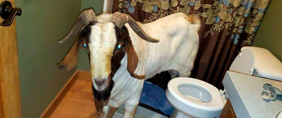 "PHOTO: In this Friday, Oct. 4, 2019 photo, a goat stands in the bathroom of a home in Sullivan Township, Ohio. The goat named ""Big Boy,"" was found napping in the bathroom after it broke into the home by ramming through a sliding glass door."