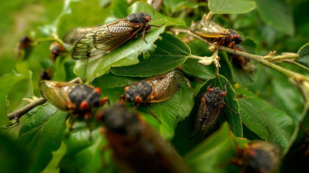 Swarm of Cicadas Delay White House Press Plane for Six Hours