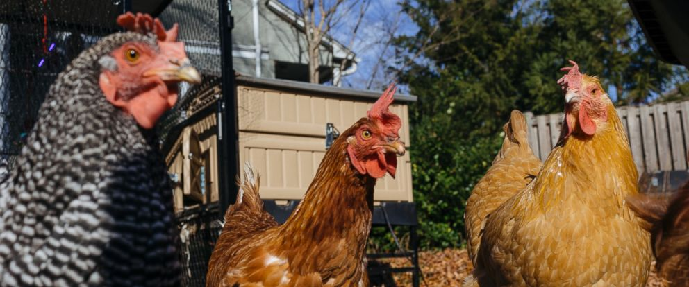 PHOTO: Backyard chickens in Takoma Park, Md.