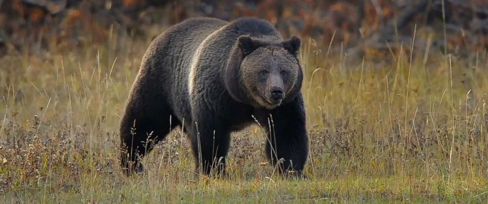 PHOTO: A grizzly bear is pictured in this undated stock photo.