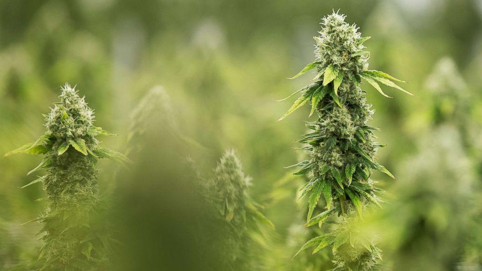 Flowering medicinal marijuana plants in Smith Falls, Ontario, Dec. 5, 2016.