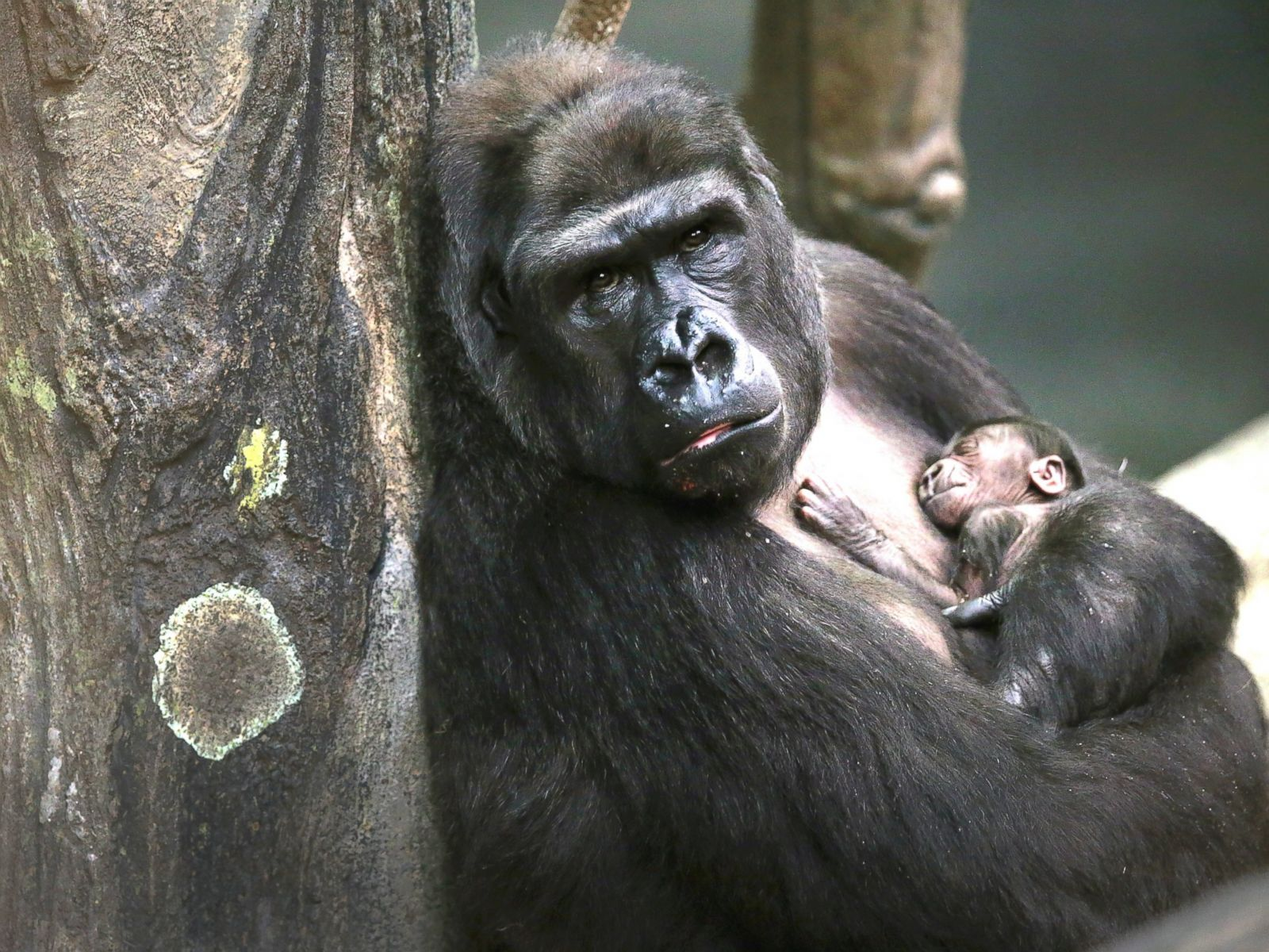 408aa944551f Gorilla Carries 3-Year-Old Boy to Safety After He Fell Into ...