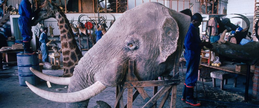 PHOTO: This undated stock photo shows an elephant head with ivory tusks and other hunting trophies in a taxidermy store in Bulawayo, Zimbabwe.
