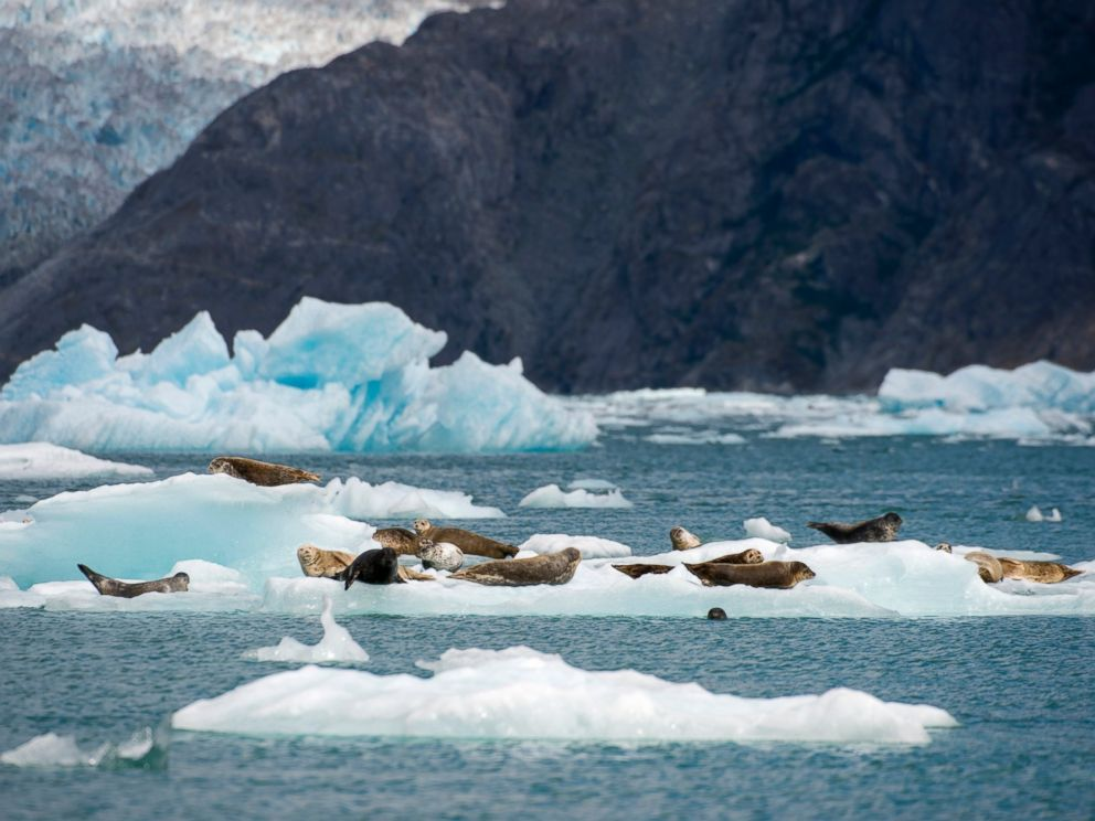 PHOTO: Harbor seals rest on icebergs from the LeConte Glacier and are drifting in LeConte Bay, Tongass National Forest in Alaska, Aug. 23, 2013.