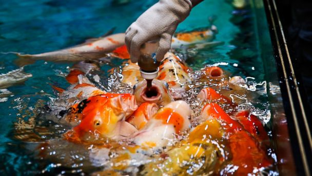 PHOTO: Harbin Pole Aquarium staff use a bottle to fed carp, Jan. 7, 2014, in Harbin, China.