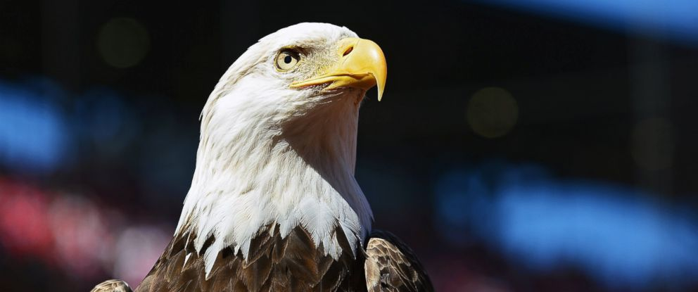 PHOTO: A bald eagle is seen prior to the St. Louis Cardinals home opener against the Milwaukee Brewers at Busch Stadium, April 11, 2016 in St. Louis.