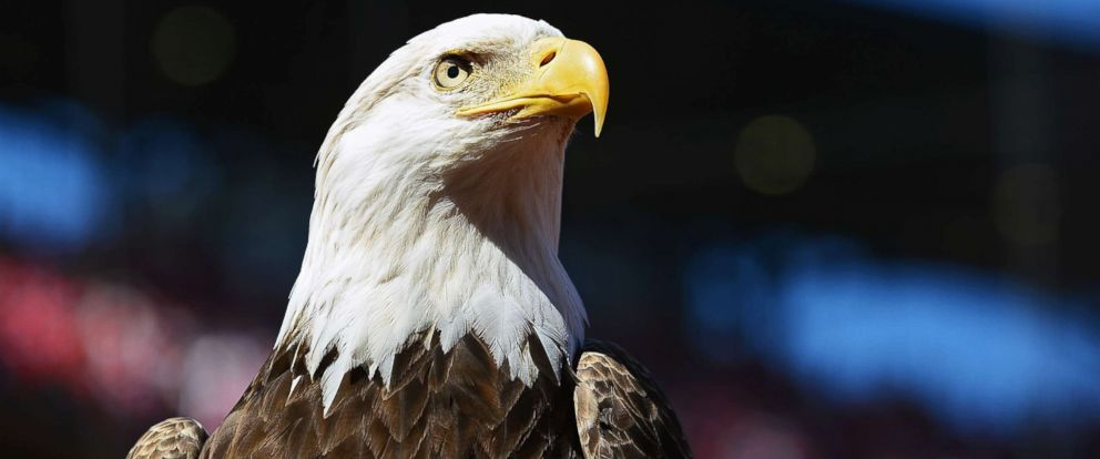 PHOTO: A bald eagle at Busch Stadium, April 11, 2016 in St. Louis.