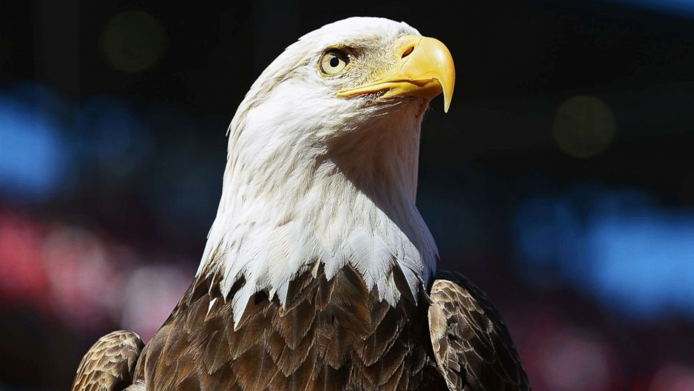 Virginia man pleads guilty to killing a bald eagle by shooting ...
