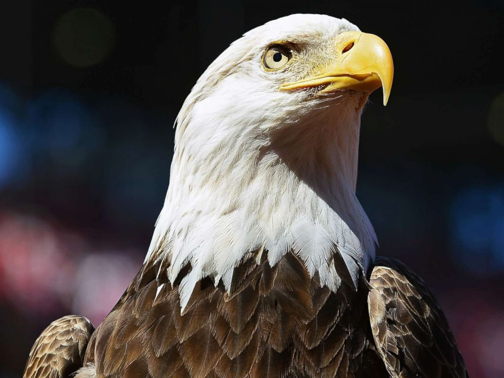 Virginia Man Pleads Guilty To Killing A Bald Eagle By Shooting Running It Over With An Atv Abc News