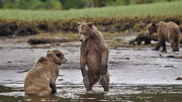 PHOTO: Young grizzly bear challenging another bear to a duel on the shoreline, Khutzeymateen Inlet of the Great Bear Rainforest on the northern coast of British Columbia, Canada.