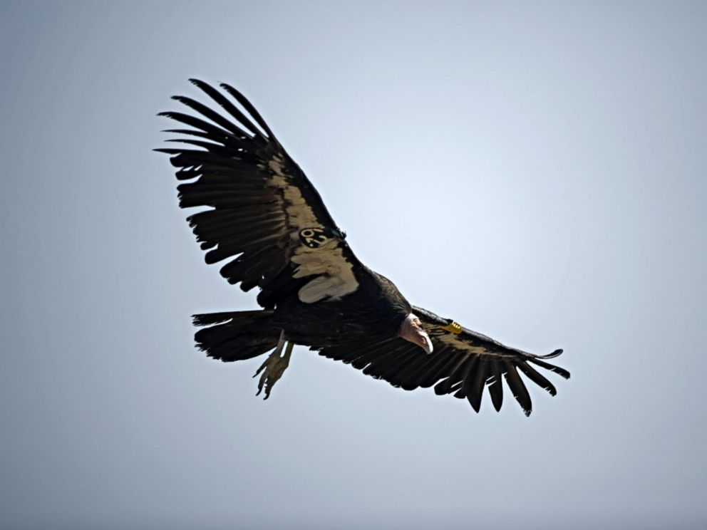 PHOTO: California Condor (Gymnogyps californianus) is pictured in flight in this undated stock photo.