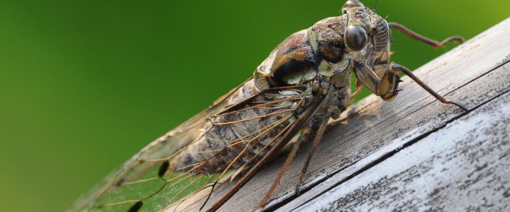 PHOTO:A cicada is seen in this undated file photo.