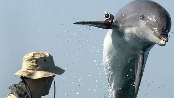PHOTO: In this file photo, Sergeant Andrew Garrett watches K-Dog, a bottlenose dolphin attached to Commander Task Unit 55.4.3, leap out of the water while training near the USS Gunston Hall on March 18, 2003 in the Persian Gulf.