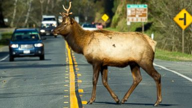 PHOTO: Elk crosses highway