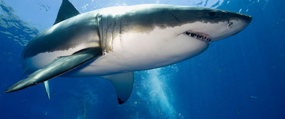 PHOTO: A scuba diver swims close to a 12-foot great white shark in Guadalupe Island, Mexico.