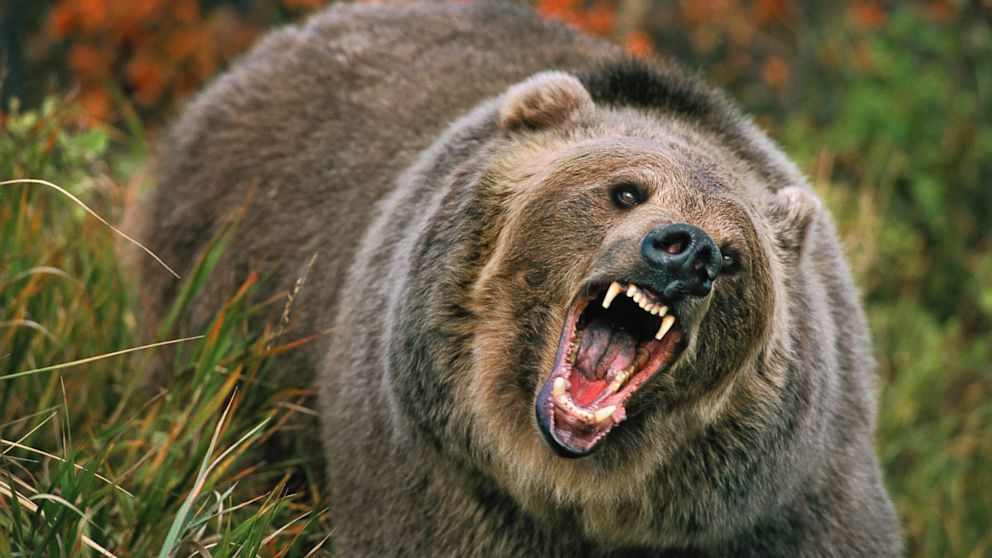 Image result for grizzly bear attack