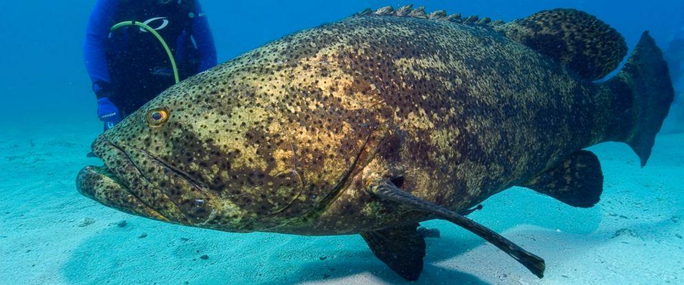 PHOTO: A diver observes a Goliath grouper in Key Largo, Fla.