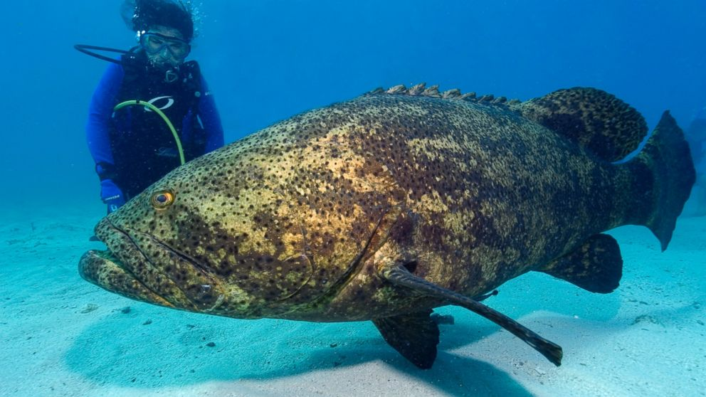 massive goliath grouper snatches shark in single bite