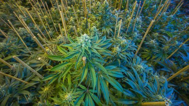 Weed revenue in Colorado tops $1 billion