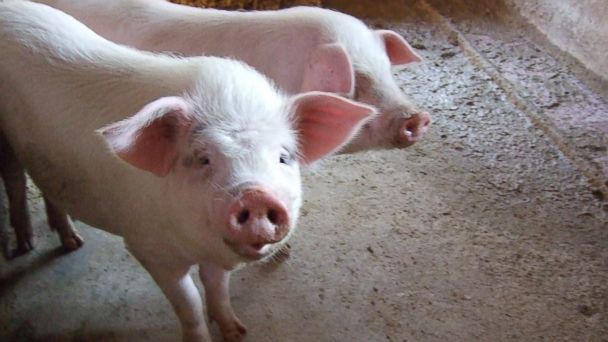 PHOTO: In this stock image, two pigs are pictured.