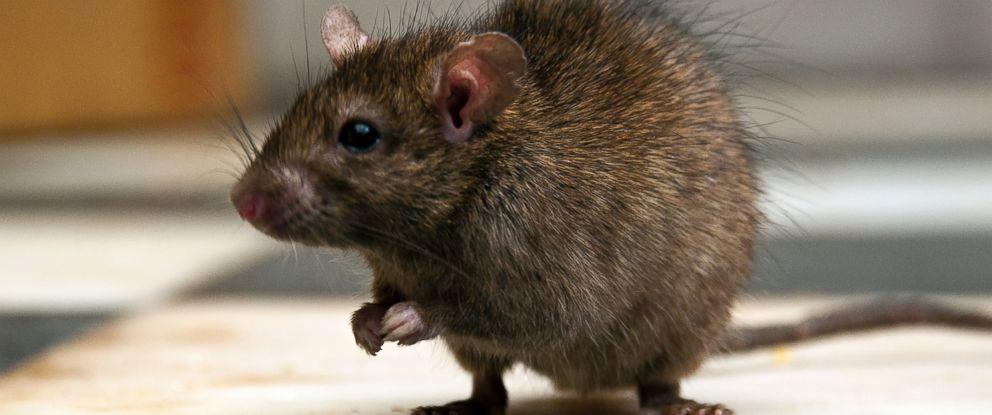 Rats Trample on Terminix Anti-Rat Insulation - ABC News