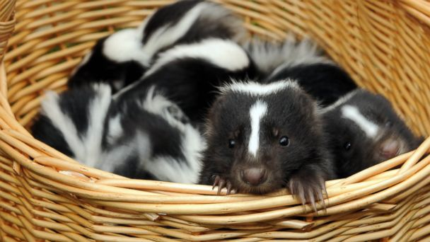 PHOTO: A young skunk peers out of a basket during his presentation at the Tierpark Friedrichsfelde zoo in Berlin, June 15, 2010.