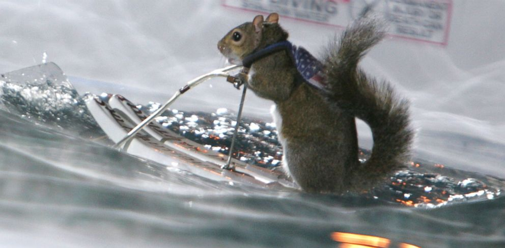 """PHOTO: In this file photo, Twiggy the Water-Skiing Squirrel is pictured on """"Late Show with David Letterman"""" in New York City on Nov. 29, 2004."""