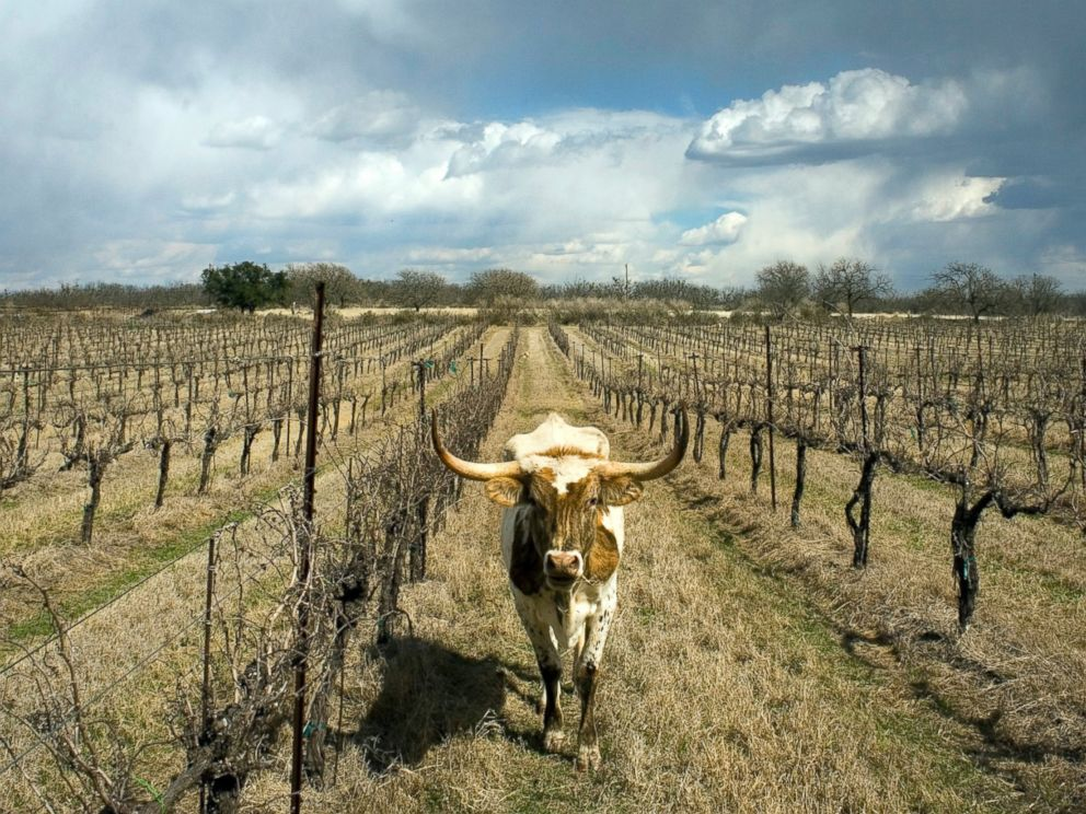 PHOTO: A longhorn cow wanders the rows of grapevines at Certenberg Vineyards, a winery owned by Alphonse Dotson in Voca, Texas, March 7, 2008.