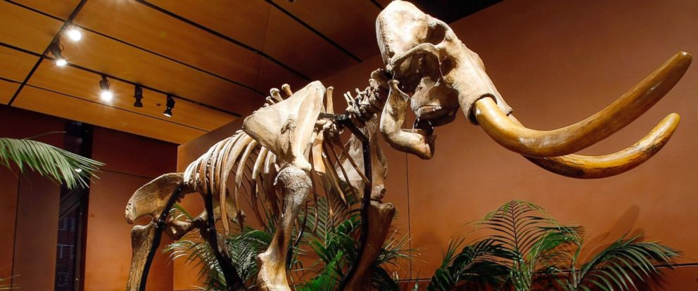 PHOTO: A woolly mammoth skeleton is displayed at the Venetian Resort Hotel Casino, Sept. 30, 2009 in Las Vegas.