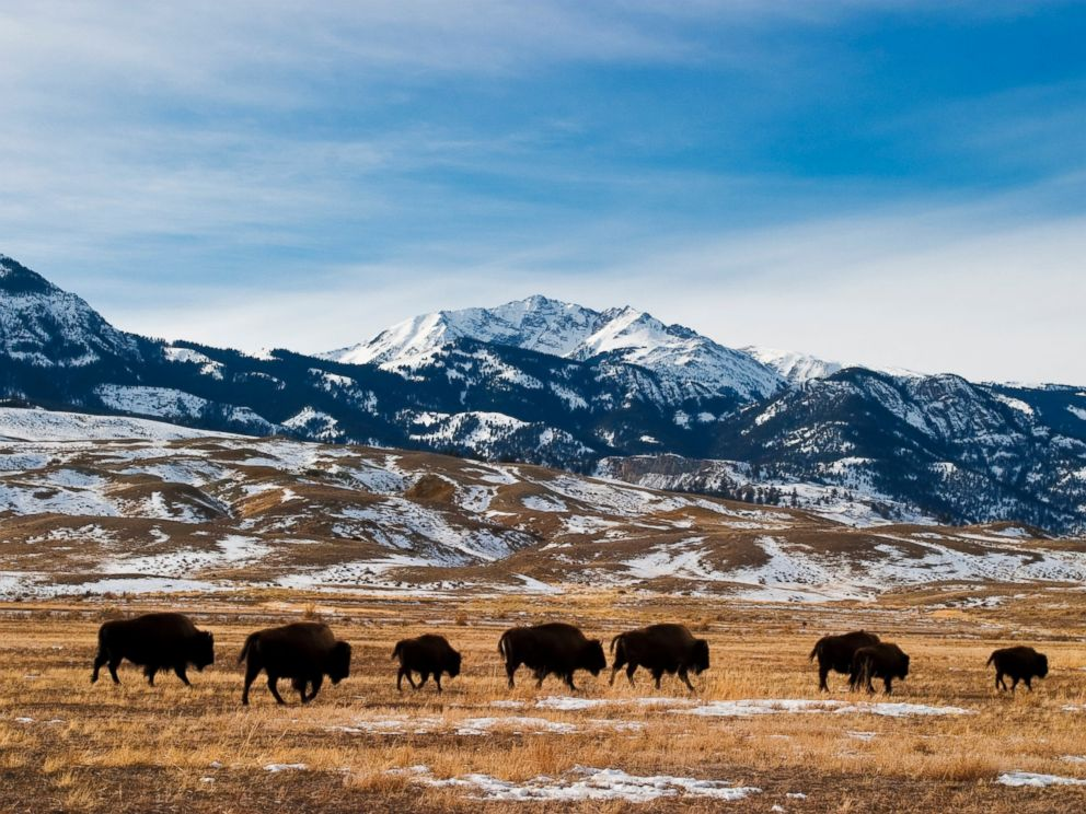PHOTO: Bison migration is pictured in Yellowstone National Park.