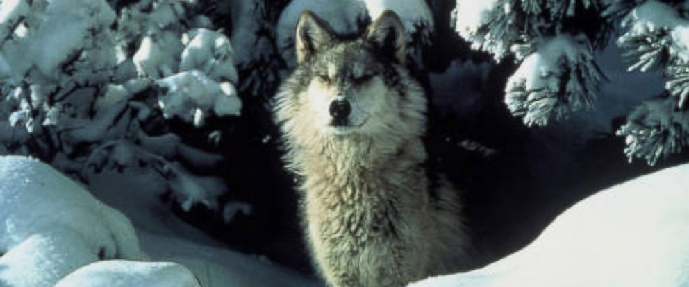PHOTO: An endangered gray wolf peers out from a snow covered shelter.