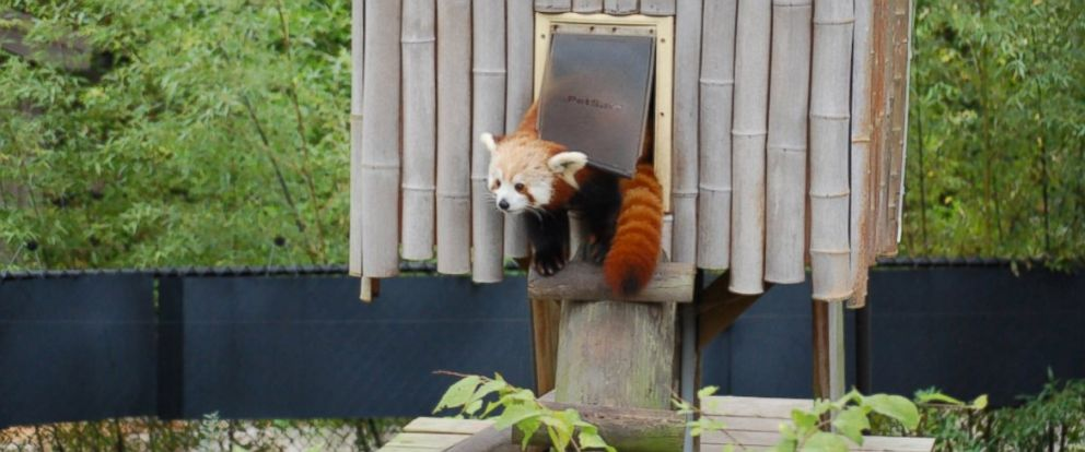 PHOTO: This photo taken from the Twitter account of the Virginia Zoo shows Sunny, a 19-month-old Red Panda who is missing from her habitat at The Virginia Zoo. Sunny was last seen at 5 p.m. Monday, January 23.