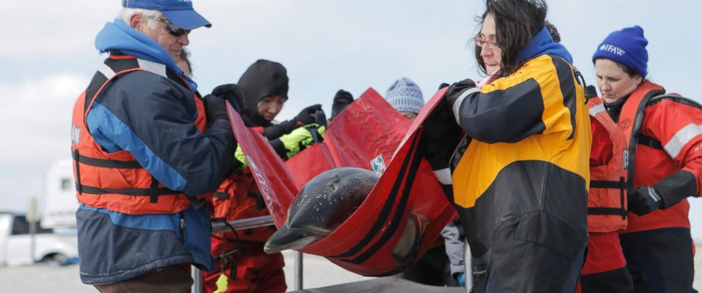 PHOTO: The International Fund for Animal Welfares Marine Mammal Rescue and Research Team rescued seven dolphins stuck on the mudflats of the Herring River in Wellfleet, Mass., March 3, 2017.