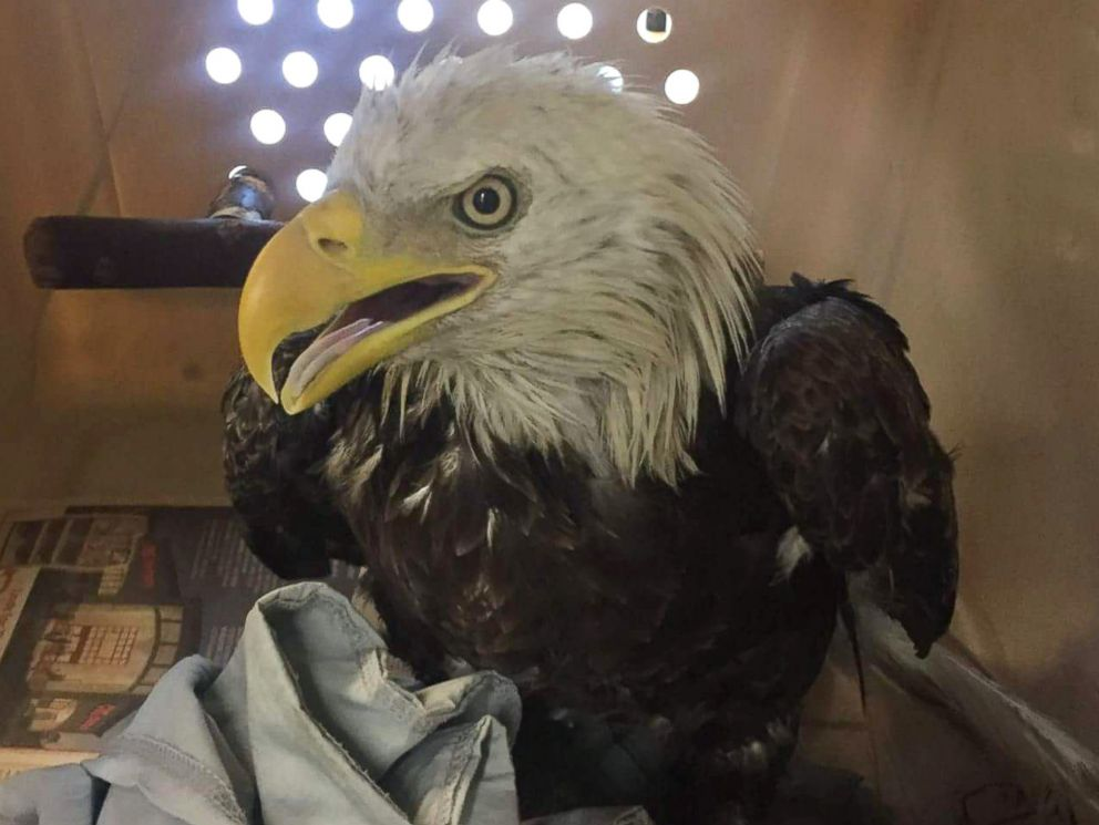 PHOTO: The bald eagle rescued by Humane Rescue Alliance officers on July 1, 2017 is bright and alert after an examination, according to City Wildlife.