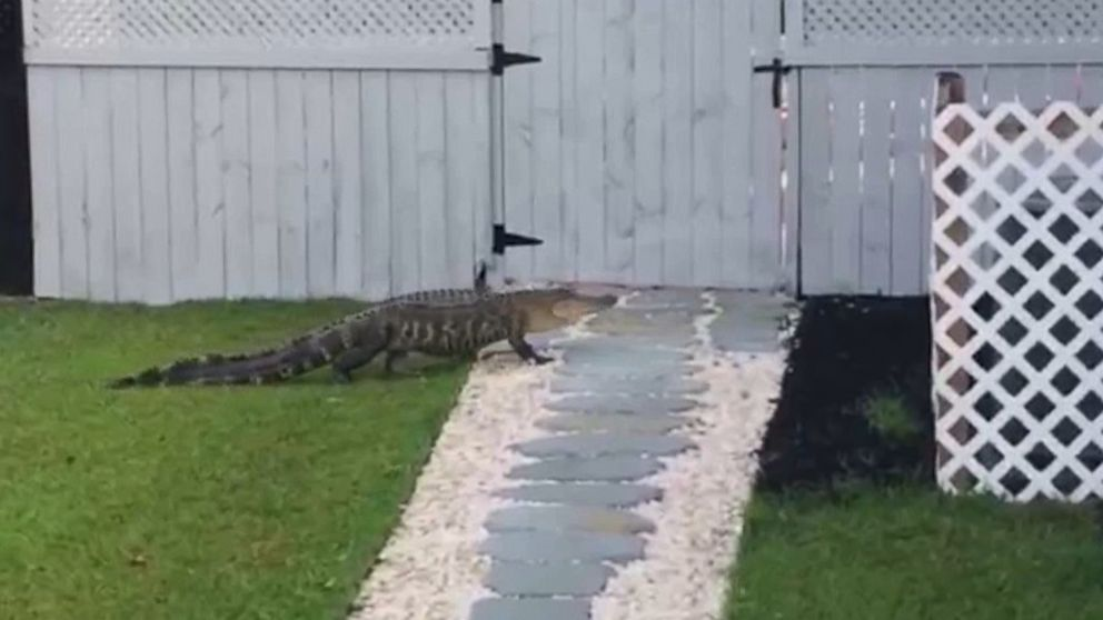 An alligator was found crawling up the front door of a family's home in Moncks Corner, S.C., on May 2, 2016.