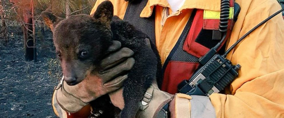 PHOTO: Florida firefighters rescued a baby bear from a forest fire April, 7, 2016.