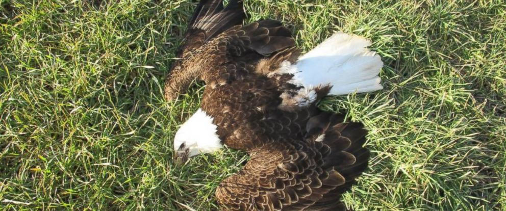 PHOTO: This eagle is one of 13 found dead on a farm in Federalsburg, Md., Feb. 20, 2016.