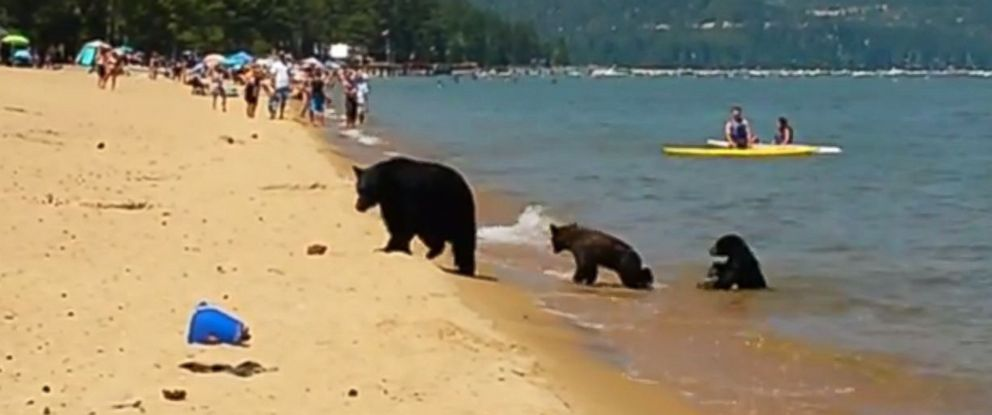 PHOTO: A family of three bears was spotted recently in the waters of Lake Tahoe, California.