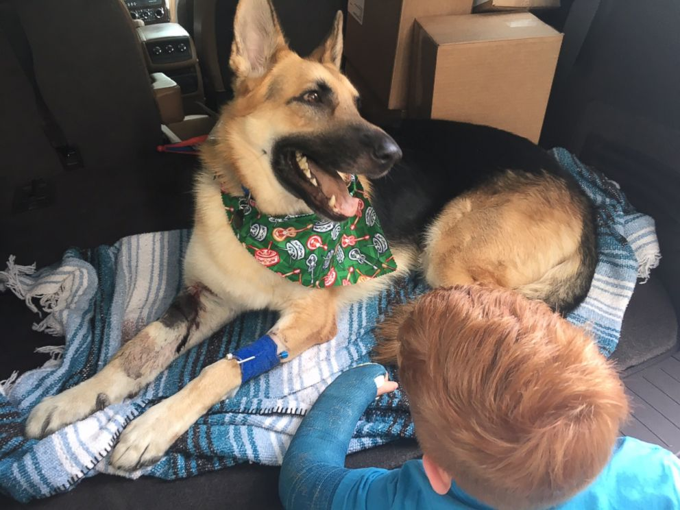 PHOTO: Haus, a 2-year-old rescue German shepherd, received nine vials of antivenin after he was bitten three times by a rattlesnake in Tampa, Florida.