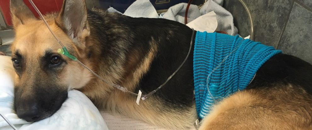 German Shepherd Saves 7-Year-Old Owner From Rattlesnake - ABC News