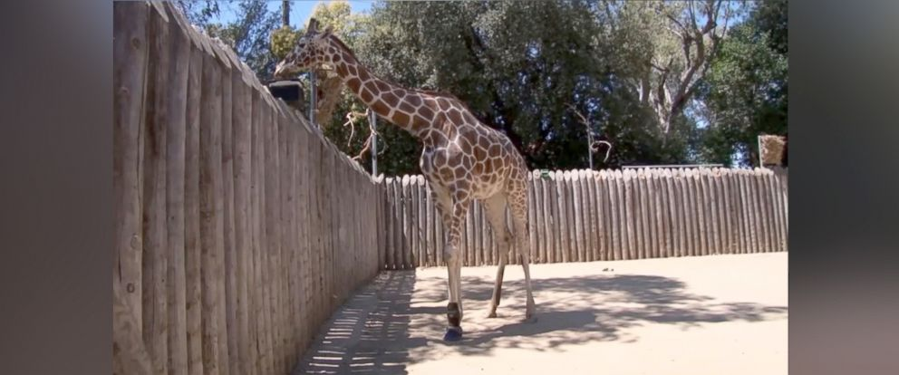 """PHOTO: The Sacramento Zoo has outfitted """"Goody"""" the giraffe with a new shoe to help relieve her arthritis symptoms."""